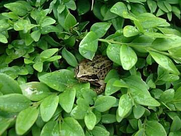 Common (tree) frog