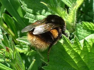 Buff Tailed Bumble