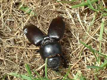 Stag Beetle - female shell case