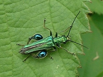 Thick legged flower beetle male